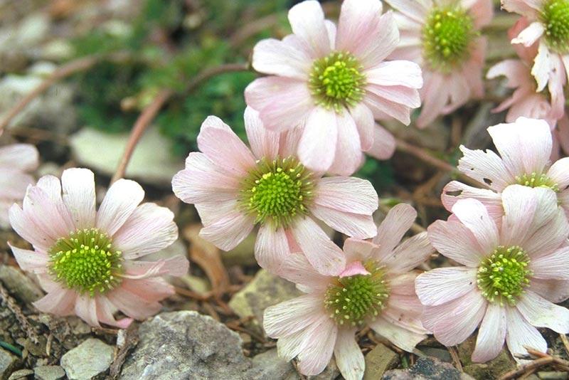 Anemonen Schmuckblume Rennsteiggarten Oberhof