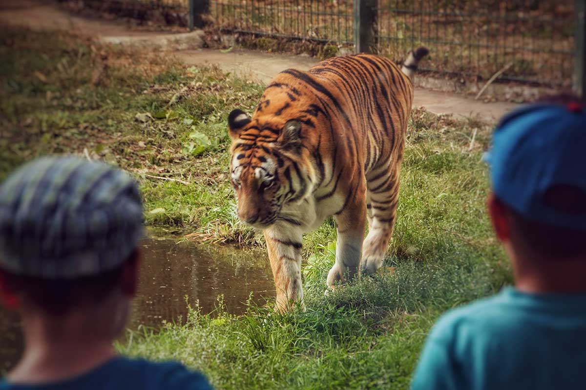 Tierpark-Gotha_Tiger-©-KulTourStadt_Sebastian-Pohl